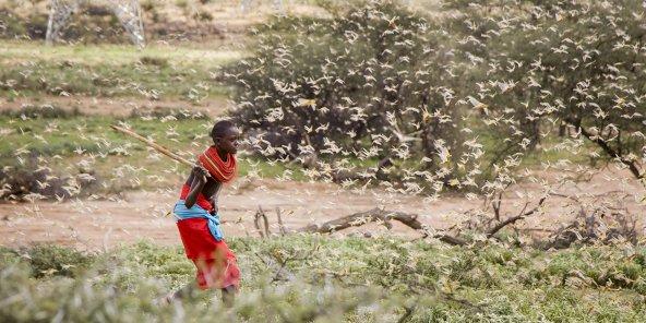 L'Afrqiue de l'est doit faire face à une invasion de criquets pèlerins